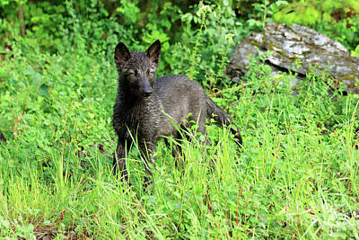 Wolf Photograph - Gray Wolf Pup by Louise Heusinkveld