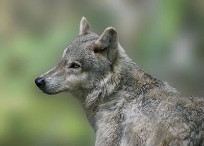 Photograph - Gray Wolf  by Sandy Keeton
