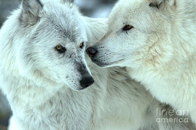 Photograph - Gray Wolf Tender Moment by Adam Jewell