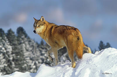 Photograph - Gray Wolf by Tim Fitzharris