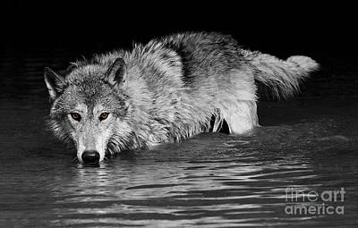 Photograph - Gray Wolf Watches by Art Cole