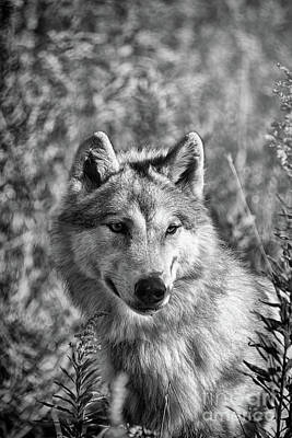 Photograph - Gray Wolf Watchful Black And White by Sharon McConnell