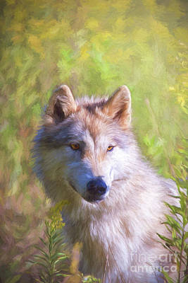 Photograph - Gray Wolf Watchful by Sharon McConnell