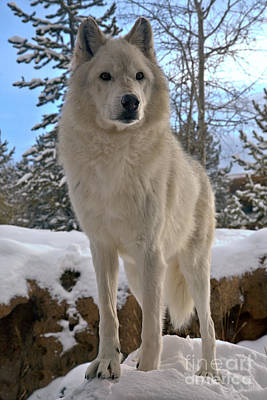 Photograph - Gray Wolf Winter Intensity by Adam Jewell