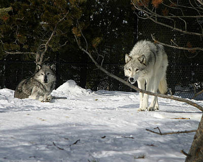 Photograph - Gray Wolves by Anthony Jones