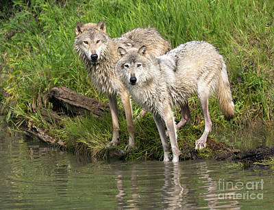 Photograph - Gray Wolves by Art Cole