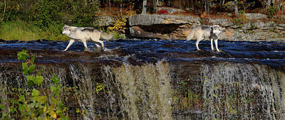 Dog Photograph - Gray Wolves Crossing A River Above A Waterfall On The Kettle Riv by Reimar Gaertner