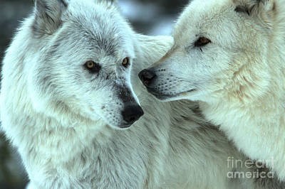 Photograph - Gray Wolves Nose To Nose by Adam Jewell