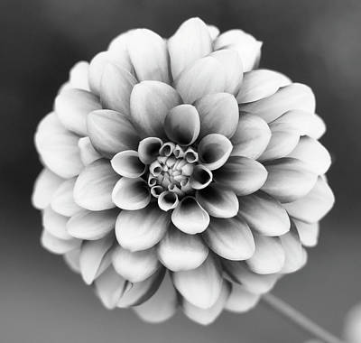 Single Flower Photograph - Graytones Flower by Photography På