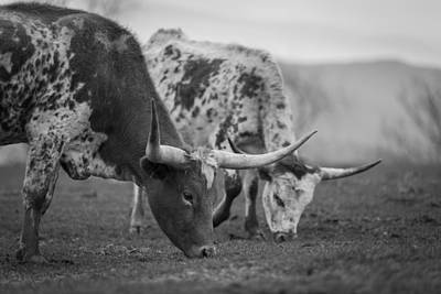 Photograph - Grazing by Amber Kresge