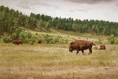 Photograph - Grazing And Relaxing by John M Bailey