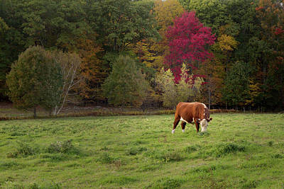 Photograph - Grazing Ayrshire Cow by Bill Wakeley