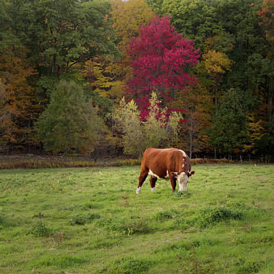 Photograph - Grazing Ayrshire Cow Square by Bill Wakeley