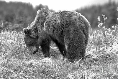 Photograph - Grazing Banff Grizzly Black And White by Adam Jewell