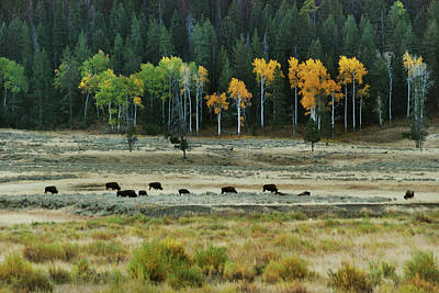 Bison Photograph - Grazing Bison by Michael Peychich