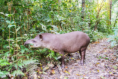 Benis Photograph - Grazing Brazilian Tapir by Jess Kraft