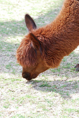 Photograph - Grazing Brown Llama On A Farm Eating Grass by DejaVu Designs