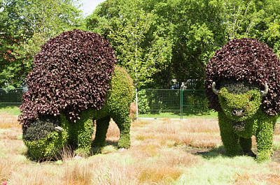 Gatineau Park Photograph - Grazing Buffalo 3 by Bob Corson