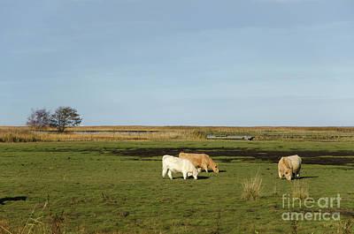 Photograph - Grazing Cattle In Marshland by Kennerth and Birgitta Kullman