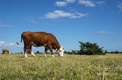 Photograph - Grazing Cow In A Great Grassland by Kennerth and Birgitta Kullman