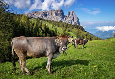 Photograph - Grazing Cows In An Alpine Meadow by Carolyn Derstine