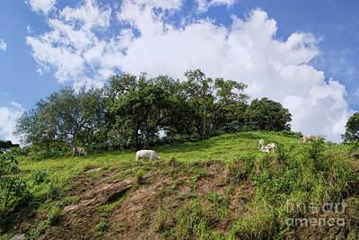 Photograph - Grazing Cows by Olga Hamilton