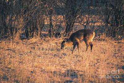 Photograph - Grazing Deer by Cheryl Baxter