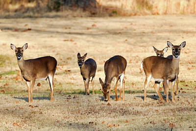 Photograph - Grazing Deer by Michelle McPhillips