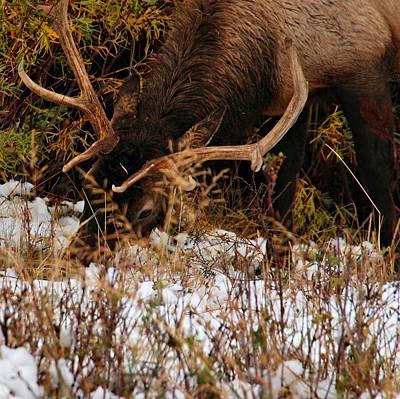 Photograph - Grazing Elk 1 - Estes Park by Angie Tirado