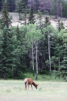 Photograph - Grazing Elk by Alyce Taylor