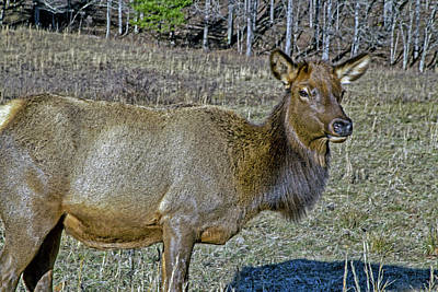 Photograph - Grazing Elk by Dennis Baswell