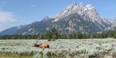 Grazing Elk In Grand Teton National Park Art Print
