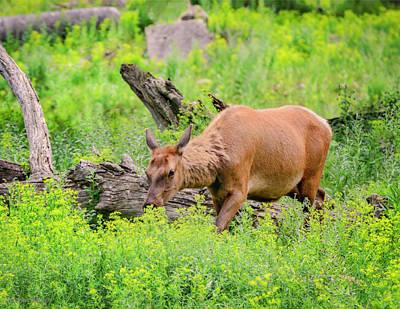 Photograph - Grazing Elk Wapiti  by LeeAnn McLaneGoetz McLaneGoetzStudioLLCcom