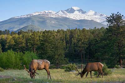 Grazing Elk With Longs Peak Art Print by Aaron Spong