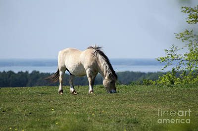 Photograph - Grazing Fjord Horse by Kennerth and Birgitta Kullman