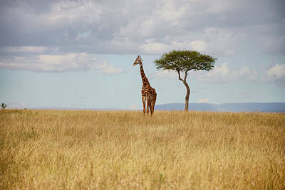 Photograph - Grazing Giraffe by Balram Panikkaserry
