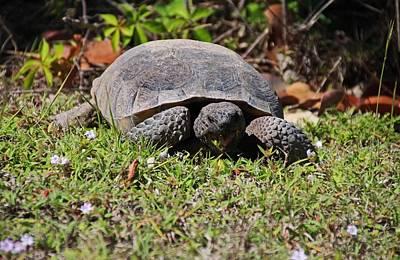 Photograph - Grazing Gopher Tortoise by Michiale Schneider