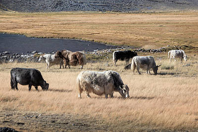 Photograph - Grazing Grunting Oxen In Altai Prairie  by Victor Kovchin