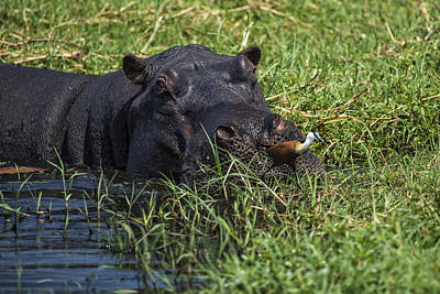 Photograph - The Hippo And The Jacana Bird by Kay Brewer