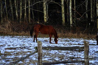 Photograph - Grazing In A Washington Winter by Clayton Bruster
