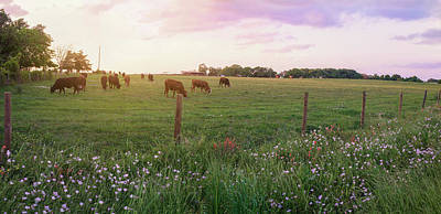Photograph - Grazing In Spring Pastures by Lynn Bauer