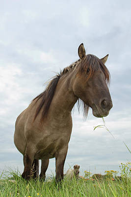 Front View Photograph - Grazing Konik Horse On A Cloudy Summer Day by Roeselien Raimond