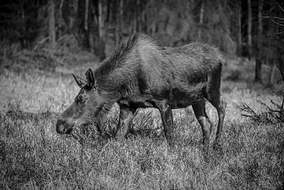 Photograph - Grazing Moose - 8741 Bw by Teresa Wilson