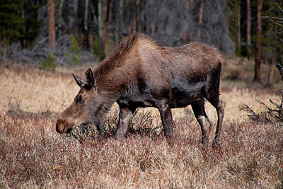 Photograph - Grazing Moose - 8741 by Teresa Wilson