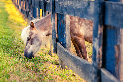 Photograph - Grazing Pony by Alexey Stiop