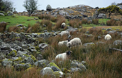 Photograph - Grazing Sheep by Dawn Richerson