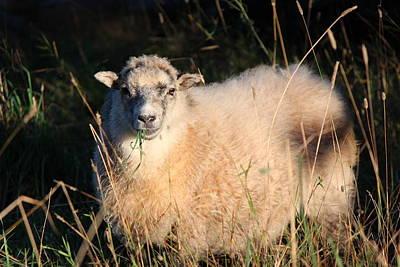 Grazing Sheep Art Print by Nicholas Miller