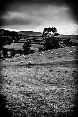 Strabane Photograph - Grazing Sheep by Thomas R Fletcher