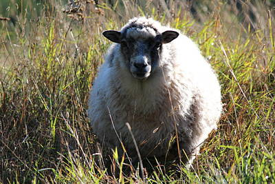 Grazing Sheep Three Art Print by Nicholas Miller