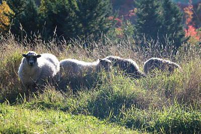 Grazing Sheep Two Art Print by Nicholas Miller